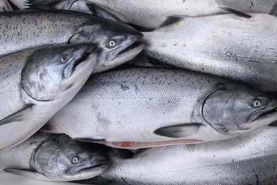 2012 год будет богат на лосося
