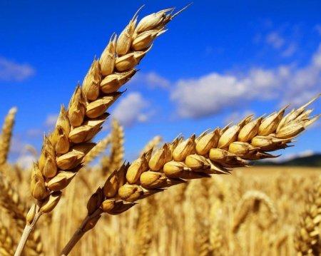 В 2017 году Россия может начать экспорт пшеницы в Венесуэлу